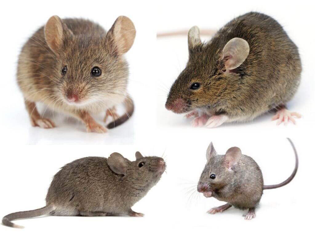 картинки мышей в спб культуры бесхлопотное, главное